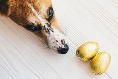 Cute dog lying at stylish easter chocolate eggs in golden foil on white wooden background and looking up with cute eyes . Modern. Easter eggs. Happy Easter stock image