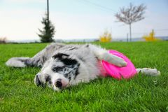 Free Cute Dog Lying With Its Frisbee. Stock Image - 103997981