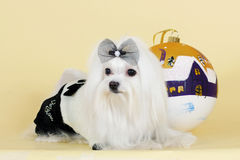 Cute dog Maltese new year. In a glamorous suit with a ball Flirty looks Stock Images