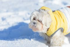 Cute dog Maltese playing outdoor in snow Royalty Free Stock Image