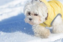 Cute dog Maltese playing outdoor in snow Stock Photo