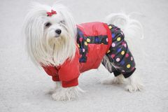 Cute dog Maltese playing outdoor in the snow in warm jacket royalty free stock photo