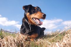 Cute Dog in the Meadow Stock Photography