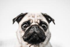 Cute dog, mops. Funny dog portrait, cute mops Stock Image