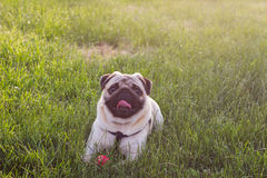Cute Dog Mops playing outside smiles with red ball. Dog lying in the grass and looking up at the camera.  royalty free stock photography