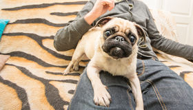 Cute dog, mops portrait Stock Images