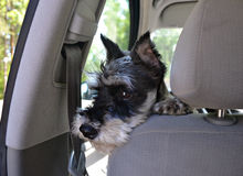 Cute dog in motor car stock images