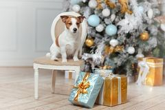 Cute dog and New Year. Jack Russell Terrier with gifts for Merry stock photo
