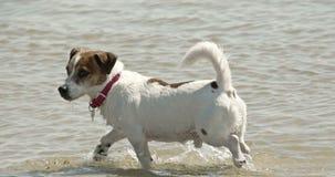 A cute dog off to a beach 4K FS700 Odyssey 7Q. A cute dog off to a swim in a beach 4K FS700 Odyssey 7Q stock video