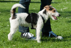 Cute dog with owner. Side view of cute dog on grass with legs of owner stock image