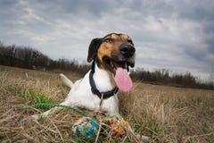 Cute dog panting Royalty Free Stock Images