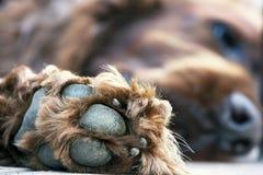 Cute dog paw Royalty Free Stock Image
