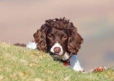 Cute dog peeking Royalty Free Stock Photos