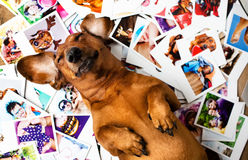Cute dog among the photos Royalty Free Stock Photography