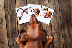 Cute dog among the photos. Cute redhair dachshund looking on her owner photos Stock Image