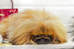 Cute dog pikines dozing in luxury store waiting for his mistress. Doggy sleeps on the background of fashionable things. Cute dog pikines dozing in luxury store royalty free stock images