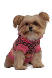Cute Dog in Pink Coat Stock Photography