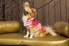 Cute dog in a pink red fashion clothes. Chihuahua in a fashion red and pink clothes Royalty Free Stock Photo