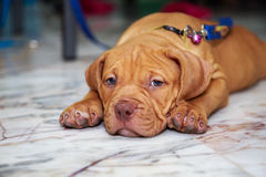 Cute dog pit bull sleepy. Cute puppy dog pit bull sleepy on floor Stock Photos