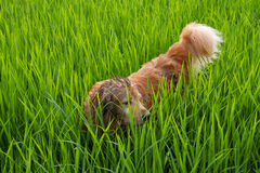 Cute dog play in a green corn field Royalty Free Stock Photos