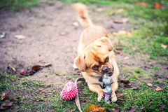 Cute dog play. Young light brown dog play with his toys on the ground Stock Photo