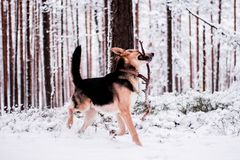 Cute dog playfully running and standing in the forest Stock Photo