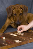 Cute dog playing. A beautiful young brown rhodesian ridgeback is playing backgammon and is looking so cute royalty free stock photo