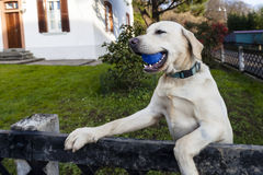 Cute dog playing with the ball. A cute labrador dog playing with a blue ball in the garden stock photos