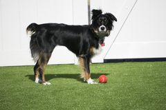 Dog playing ball outside in the backyard Stock Images
