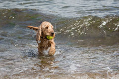 Free Cute Dog Playing In The Sea Stock Images - 66881434