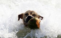 Cute dog playing in the ocean, action pictures of canine chasing coconut in the sea and the beach. In Costa Rica Royalty Free Stock Photos