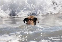 Cute dog playing in the ocean, action pictures of canine chasing coconut in the sea and the beach. In Costa Rica Royalty Free Stock Photography