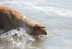 Cute dog playing in the ocean, action pictures of canine chasing coconut in the sea and the beach. In Costa Rica Stock Image