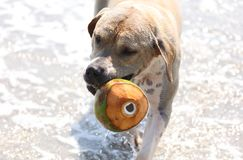 Cute dog playing in the ocean, action pictures of canine chasing coconut in the sea and the beach. In Costa Rica Stock Photography