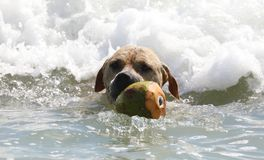 Cute dog playing in the ocean, action pictures of canine chasing coconut in the sea and the beach. In Costa Rica Stock Photos