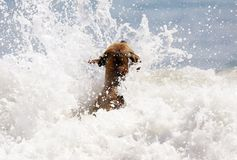Cute dog playing in the ocean, action pictures of canine chasing coconut in the sea and the beach. In Costa Rica Stock Photo