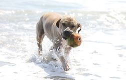 Cute dog playing in the ocean, action pictures of canine chasing coconut in the sea and the beach. In Costa Rica Royalty Free Stock Photo