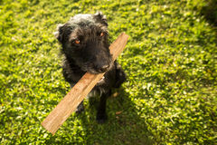 Cute dog playing with a piece of wood Stock Photography