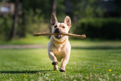 Cute dog playing with a stick Royalty Free Stock Photo