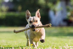 Cute dog playing with a stick Stock Photography