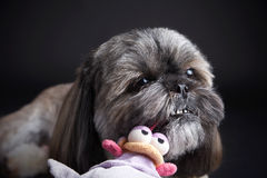 Cute dog playing with a toy Royalty Free Stock Images