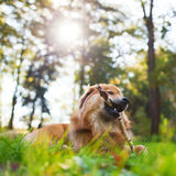 Cute dog plays with a branch Royalty Free Stock Image