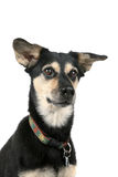 Cute dog with pointed ears and an alert face Stock Photo