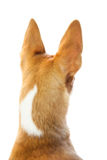 Cute dog with pointy ears Royalty Free Stock Photography