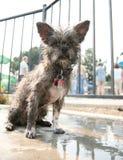 A cute dog at a pool Royalty Free Stock Photo