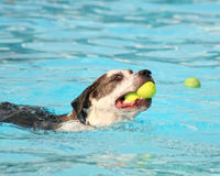 A cute dog at a pool Royalty Free Stock Photo