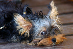 Cute dog portrait. Cute dog laying on wooden floor Stock Photo