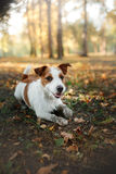 Cute dog portrait in autumn outsude Stock Image
