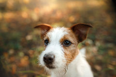 Cute dog portrait in autumn outsude Stock Images