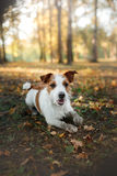 Cute dog portrait in autumn outsude Royalty Free Stock Photo